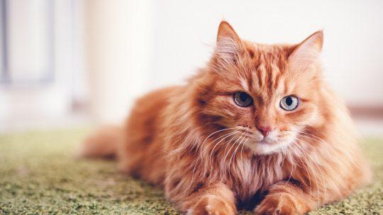 Chat adulte : les meilleurs conseils vétérinaires